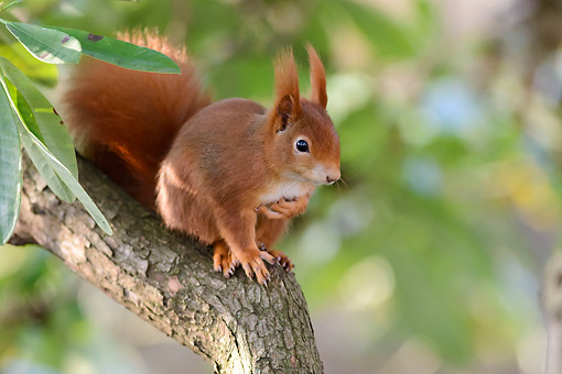 MAM 24 AC0017 01 © Kimball Stock Red Squirrel Standing On Tree, Germany
