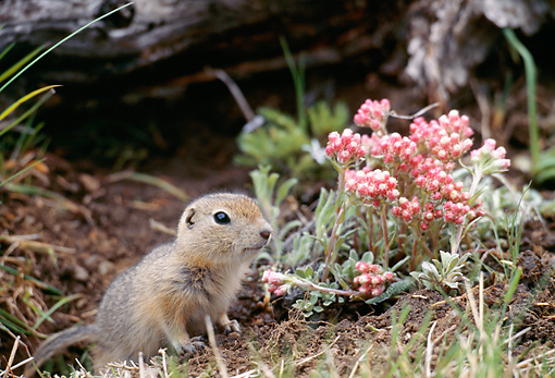 MAM 24 BA0001 01 © Kimball Stock Close-Up Of Ground Squirrel Standing In Dirt By Pink Flowers