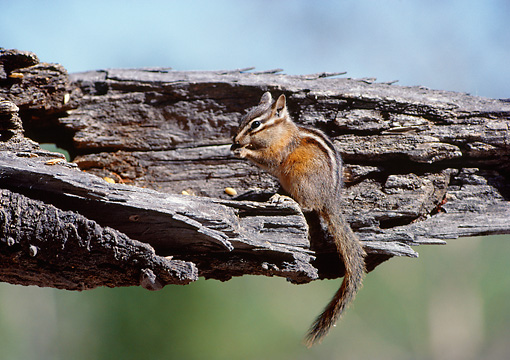 MAM 24 BA0002 01 © Kimball Stock Least Chipmunk Standing On Log Eating Seeds
