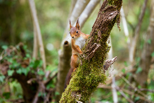 MAM 24 GL0002 01 © Kimball Stock Red Squirrel Climbing Mossy Tree Branch