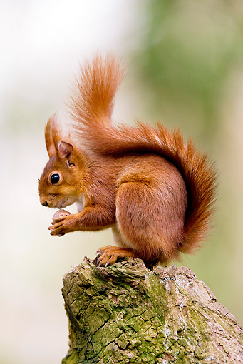 MAM 24 GL0003 01 © Kimball Stock Red Squirrel Standing On Log Eating Hazelnut