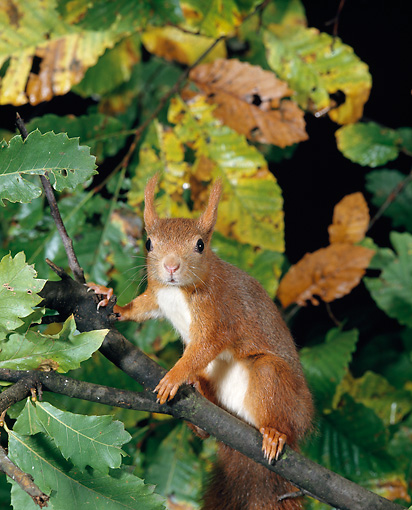 MAM 24 GL0004 01 © Kimball Stock Red Squirrel Climbing In Tree