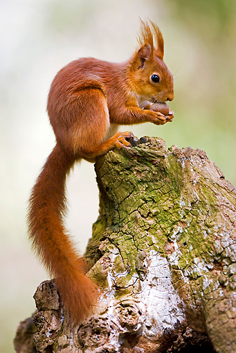 MAM 24 GL0005 01 © Kimball Stock Red Squirrel Eating Hazelnut On Stump Normandy