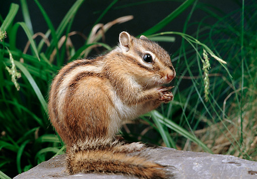 MAM 24 GL0006 01 © Kimball Stock Close-Up Of Chipmunk Sitting On Rock