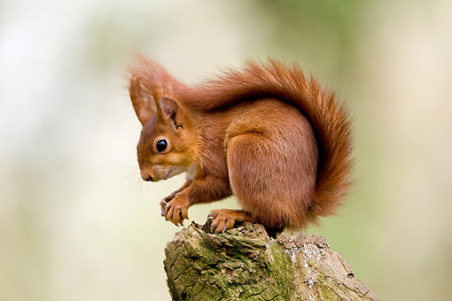 MAM 24 GL0007 01 © Kimball Stock Red Squirrel Sitting On Tree In France