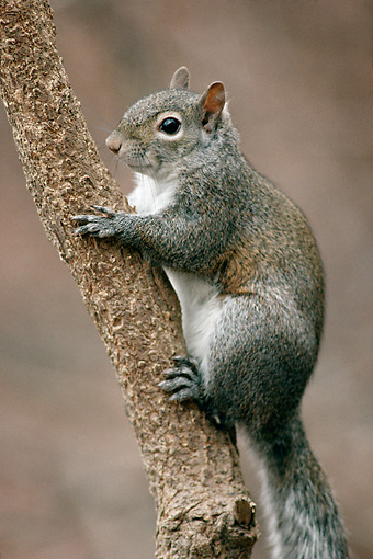 MAM 24 GR0001 01 © Kimball Stock Portrait Of Eastern Gray Squirrel On Tree