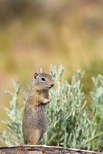 MAM 24 KH0005 01 © Kimball Stock Belding Ground Squirrel Standing Upright On Log