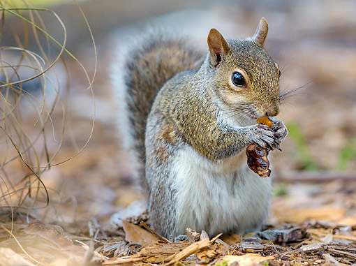 MAM 24 KH0006 01 © Kimball Stock Eastern Gray Squirrel Eating A Nut In Florida