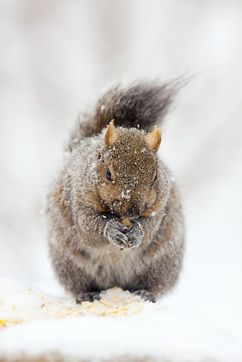 MAM 24 LS0002 01 © Kimball Stock Gray Squirrel Eating Corn During Snow Storm