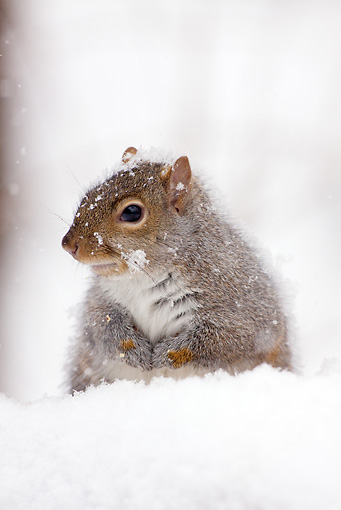 MAM 24 LS0003 01 © Kimball Stock Gray Squirrel Sitting In Snow During Snow Storm