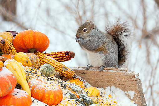 MAM 24 LS0004 01 © Kimball Stock Gray Squirrel Feeding On Corn Kernels Among Gourds In Winter