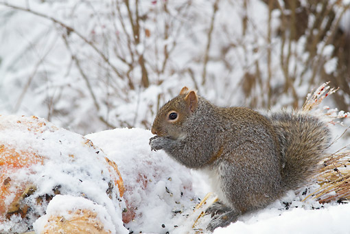 MAM 24 LS0005 01 © Kimball Stock Eastern Gray Squirrel With Snow Covered Gourds And Sunflower Seeds In Winter