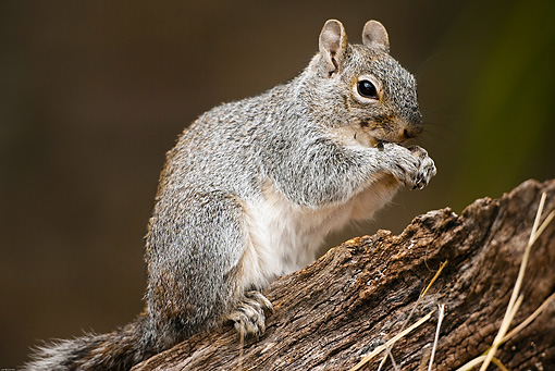 MAM 24 MC0003 01 © Kimball Stock Western Gray Squirrel Sitting On Log Yellowstone National Park