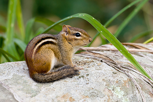 MAM 24 MC0009 01 © Kimball Stock Eastern Chipmunk Sitting In Backyard Garden Eastern Pennsylvania