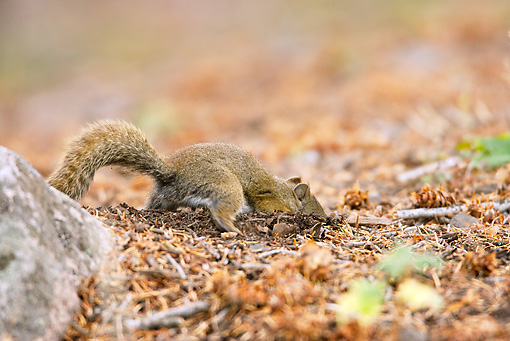 MAM 24 MC0011 01 © Kimball Stock Red Squirrel Hunting In Yellowstone National Park
