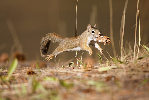 MAM 24 MC0012 01 © Kimball Stock Red Squirrel Leaping With Pinecone Yellowstone National Park