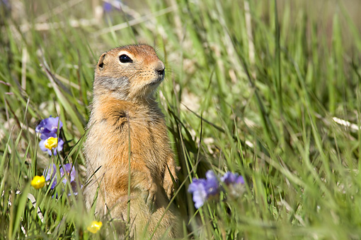 MAM 24 WF0001 01 © Kimball Stock Arctic Ground Squirrel Standing Upright In Flowering Meadow