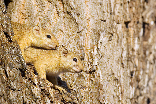 MAM 24 WF0002 01 © Kimball Stock Smith's Bush Squirrels Looking Out Of Tree Hole