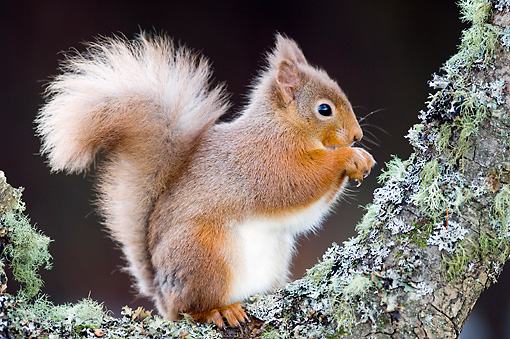 MAM 24 WF0003 01 © Kimball Stock Red Squirrel Sitting On Tree Branch