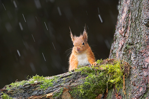 MAM 24 WF0004 01 © Kimball Stock Red Squirrel Sitting On Tree Branch In Falling Snow