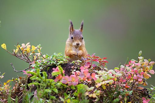 MAM 24 WF0005 01 © Kimball Stock Red Squirrel Sitting On Leafy Mound In Forest