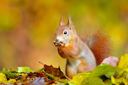 MAM 24 WF0010 01 © Kimball Stock Red Squirrel Feeding Among Beech Leaves In Autumn