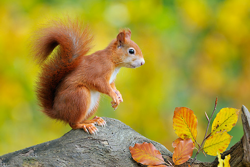 MAM 24 WF0012 01 © Kimball Stock Red Squirrel Standing On Tree Stump