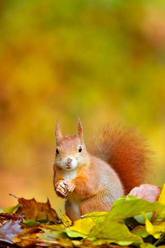 MAM 24 WF0013 01 © Kimball Stock Red Squirrel Foraging In Autumn Beech Leaves