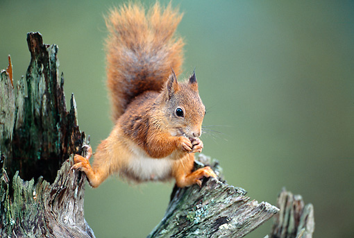 MAM 24 WF0015 01 © Kimball Stock Red Squirrel Standing On Pine Stump Feeding