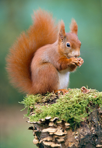 MAM 24 WF0017 01 © Kimball Stock Red Squirrel Sitting On Mossy Stump Eating Nut