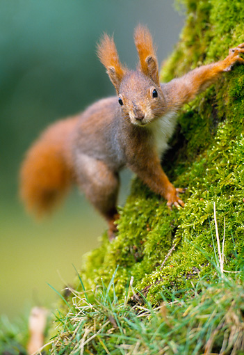 MAM 24 WF0018 01 © Kimball Stock Red Squirrel Climbing On Mossy Tree Trunk