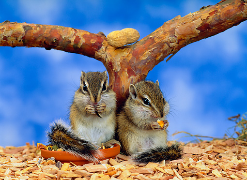 MAM 24 KH0001 01 © Kimball Stock Baby Chipmunks Sitting By Branch Eating
