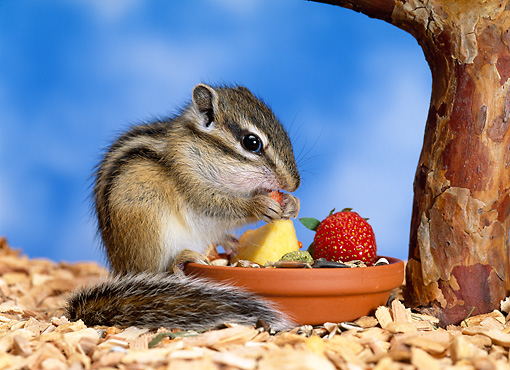 MAM 24 KH0002 01 © Kimball Stock Siberian Chipmunk Sitting By Dish Eating