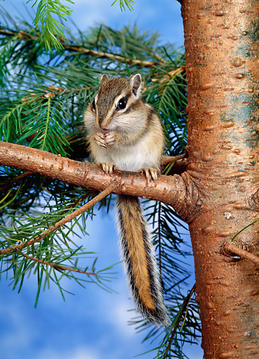 MAM 24 KH0003 01 © Kimball Stock Siberian Chipmunk Sitting On Branch Eating