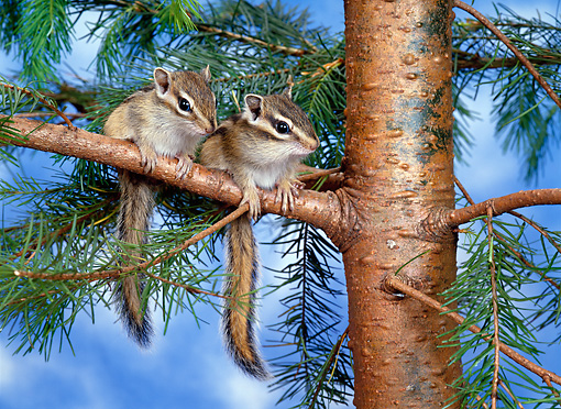 MAM 24 KH0004 01 © Kimball Stock Siberian Chipmunks Sitting On Branch