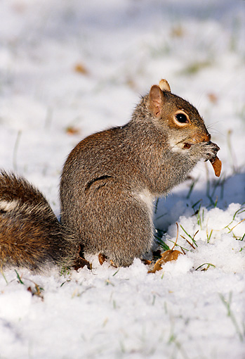 MAM 24 LS0001 01 © Kimball Stock Profile Of Eastern Gray Squirrel Eating On Snow