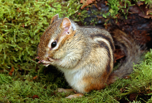 MAM 24 TK0002 01 © Kimball Stock Least Chipmunk Sitting On Moss