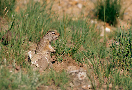 MAM 24 TL0001 01 © Kimball Stock Profile Of Uinta Ground Squirrel Barking In Grass