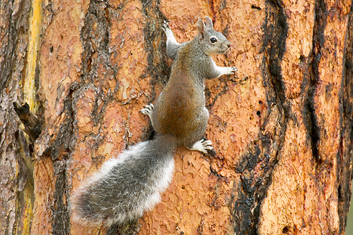 MAM 24 TL0006 01 © Kimball Stock Abert's Squirrel Climbing On Ponderosa Pine Tree Grand Canyon