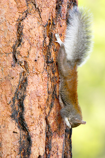 MAM 24 TL0007 01 © Kimball Stock Abert's Squirrel Climbing On Ponderosa Pine Tree Grand Canyon