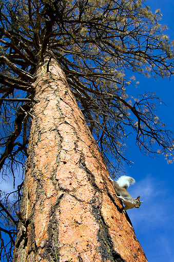 MAM 24 TL0009 01 © Kimball Stock Abert's Squirrel Climbing On Ponderosa Pine Tree Grand Canyon