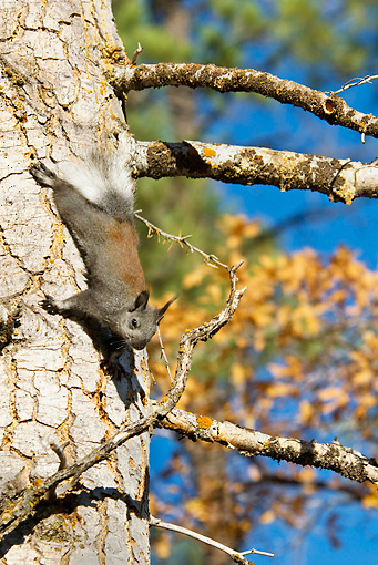 MAM 24 TL0010 01 © Kimball Stock Kaibab Squirrel Climbing On Ponderosa Pine Tree Grand Canyon