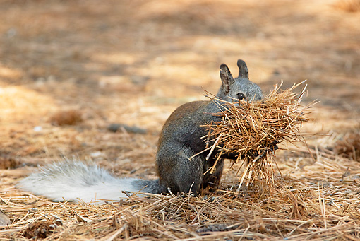 MAM 24 TL0011 01 © Kimball Stock Kaibab Squirrel Gathering Ponderosa Pine Needles Grand Canyon