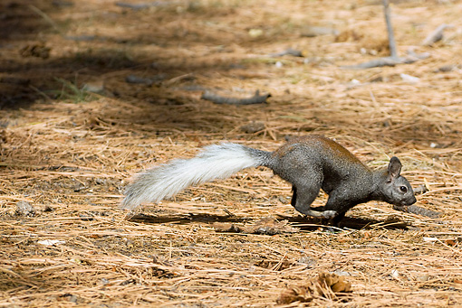 MAM 24 TL0012 01 © Kimball Stock Kaibab Squirrel Running On Ponderosa Pine Needles Grand Canyon
