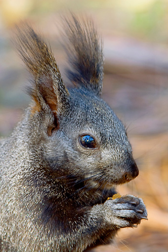 MAM 24 TL0014 01 © Kimball Stock Shoulder Shot Of Kaibab Squirrel Eating Pinecone Seeds Grand Canyon