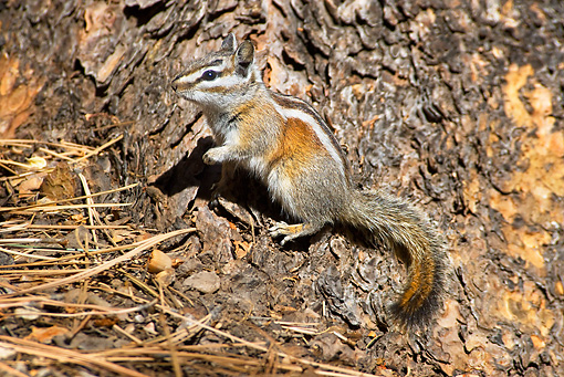 MAM 24 TL0015 01 © Kimball Stock Yellow-Pine Chipmunk Standing On Tree By Pine Needles