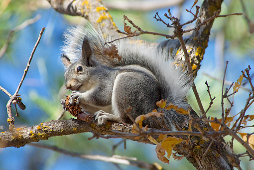 MAM 24 TL0016 01 © Kimball Stock Abert's Squirrel Eating Pinecone Seeds Sitting On Branch Grand Canyon