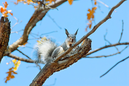 MAM 24 TL0017 01 © Kimball Stock Abert's Squirrel Sitting On Branch Grand Canyon