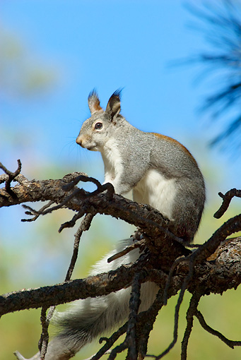 MAM 24 TL0018 01 © Kimball Stock Abert's Squirrel Sitting On Branch Grand Canyon