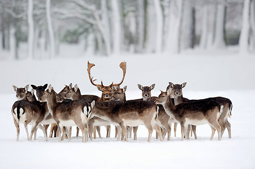 MAM 25 AC0003 01 © Kimball Stock Fallow Deer Standing In Snow
